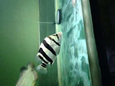 印尼虎鱼一年能长多大 印尼虎鱼能长多大
